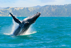 Hawaii Whale 04621